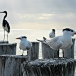Naples Florida Beach Birds