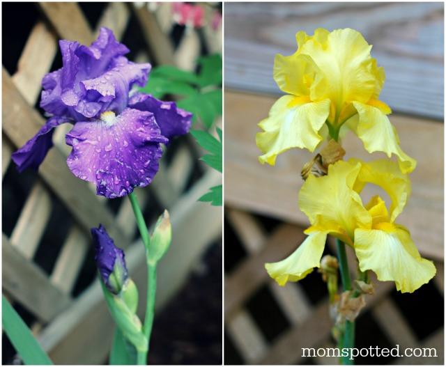 Bearded Lady Yellow & Purple Iris Bulbs Flowers