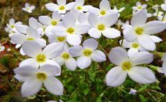 massachusetts-state-flower