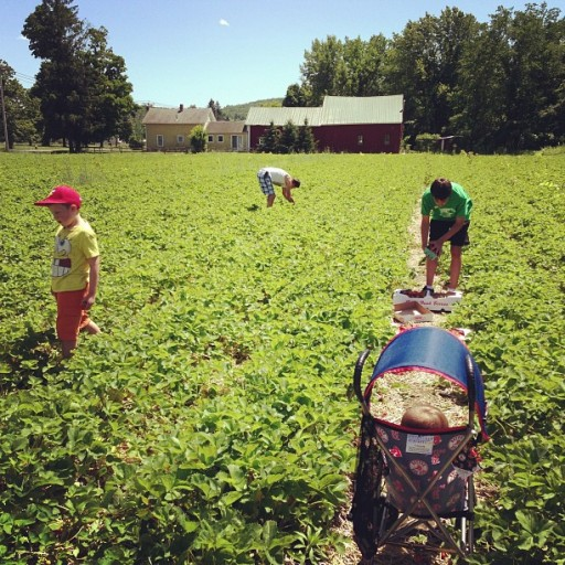 Strawberry picking in western ma with my dad & kids