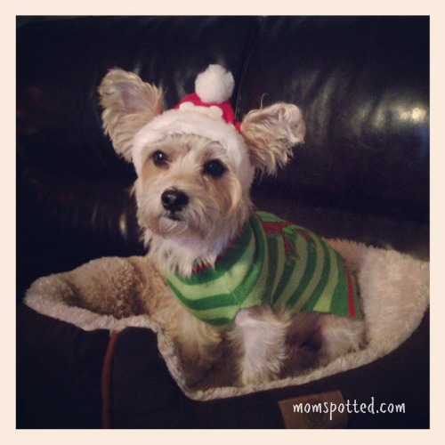 MomSpotted Christmas 2013 Charlie dressed up PetSmart