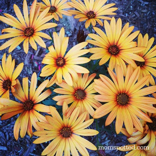 Orange Daisies
