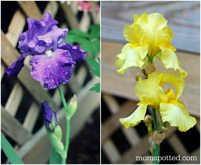 Bearded Lady Yellow & Purple Iris Bulbs Flowers