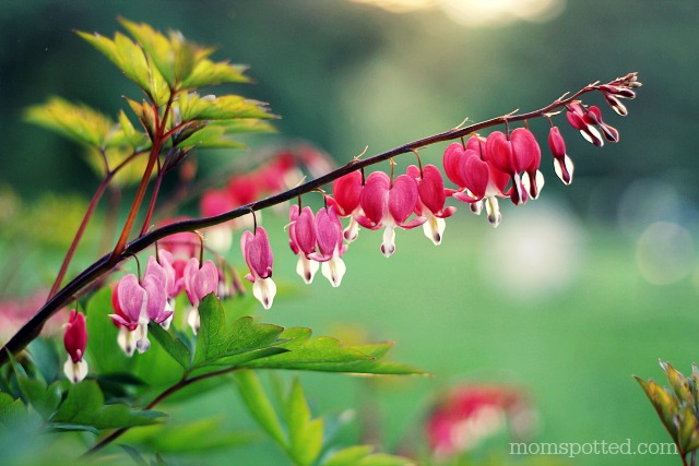 Bleeding Hearts Bush