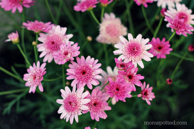 Pink Osteopermum