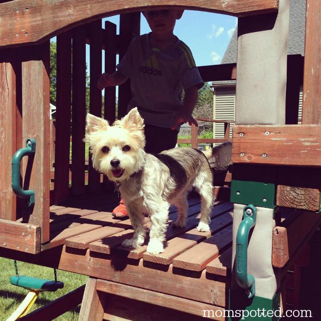 Charlie the Morkie Dog